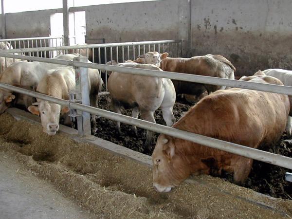 stabulazione per bovini
